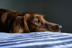 Brown dog on striped sheets.