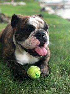 Bulldog with a tennis ball.