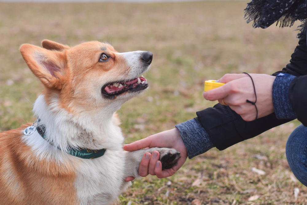 Corgi being trained with clicker.