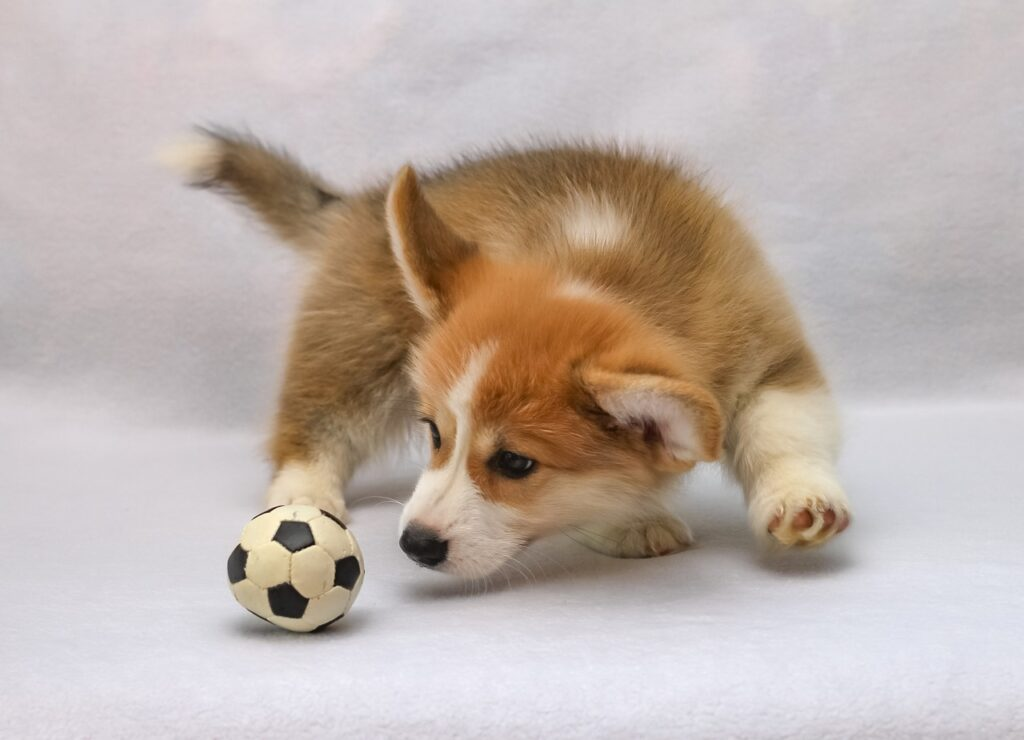 Dog playing with toy.