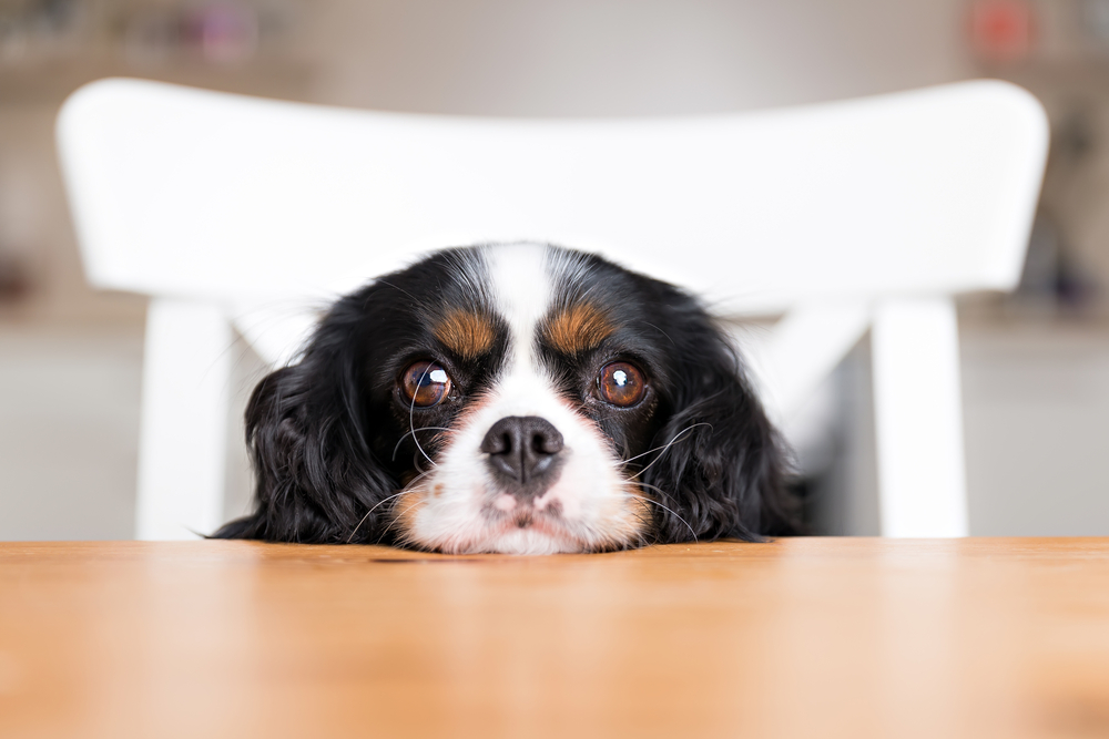 Dog begging on a kitchen table.