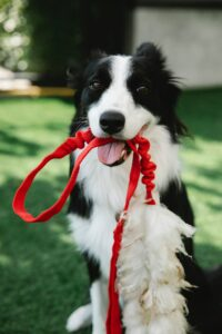 Dog holding a red leash.
