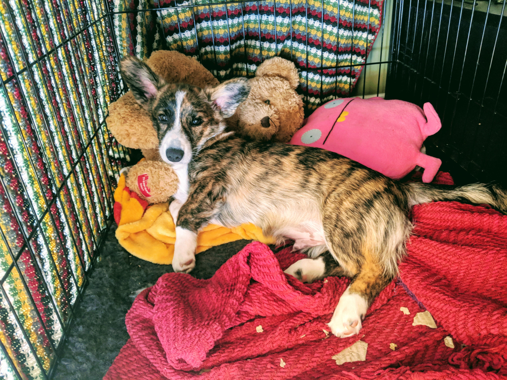 Dog inside a crate with toys.