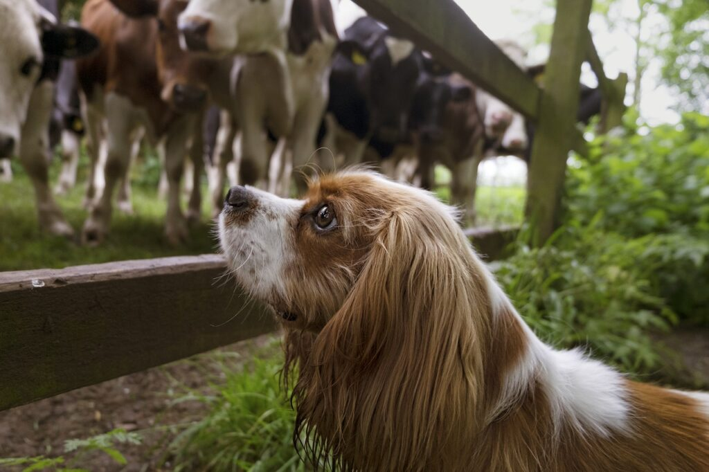 Dog looking on cattle.