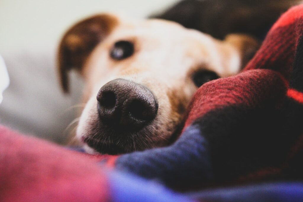 Dog on a blanket.