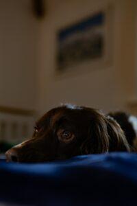 Lying dog.