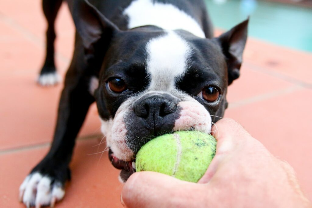 Dog refusing to give up ball.
