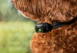 Labradoodle wearing an e-collar.