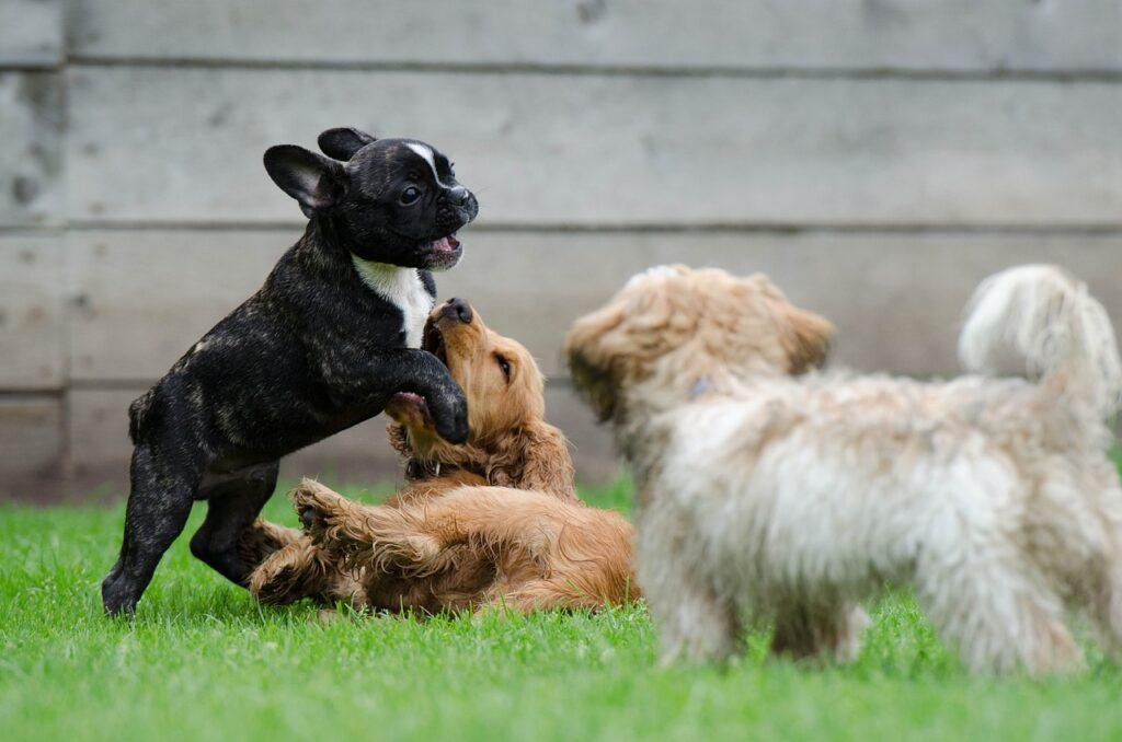 Puppies playing together.