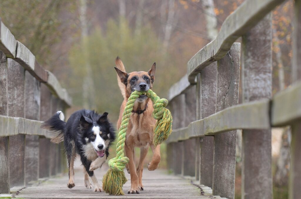 Two dogs running with rope.