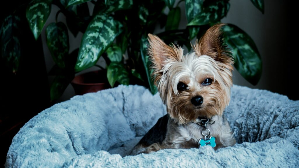 Yorkie on dog bed.