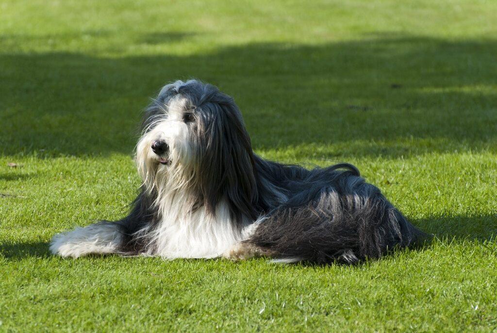 Long-coated dog.
