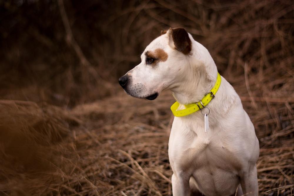 Pitbull wearing yellow e-collar.