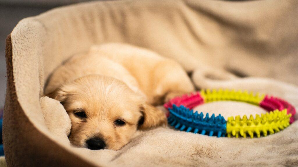 Sleepy puppy beside a toy.