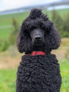 Black poodle with standard clip.