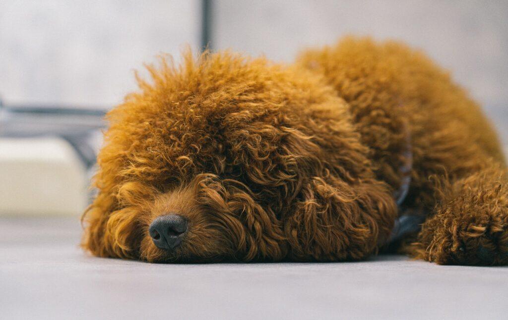 Brown poodle resting.