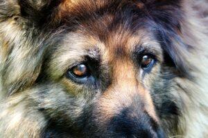 Closeup of shepherd dog's eyes.