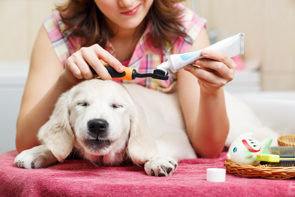 Dog getting ready for toothbrush.