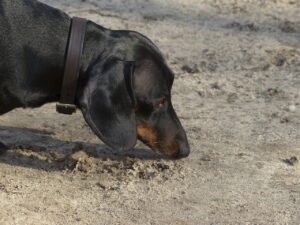 Dog sniffing the ground.