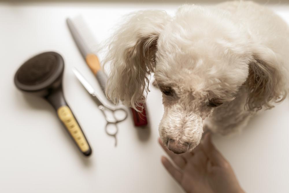 Poodle grooming.